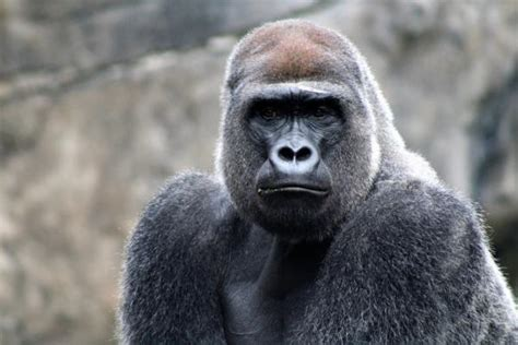 Strong Silverback Gorilla