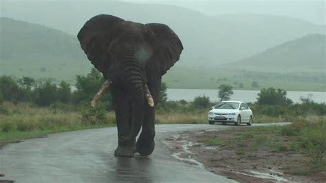 Bid Bid Big Big Big Elephant Walks By Our Car On Safari