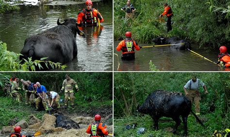 Water buffalo rescued by firefighters after being spooked ...