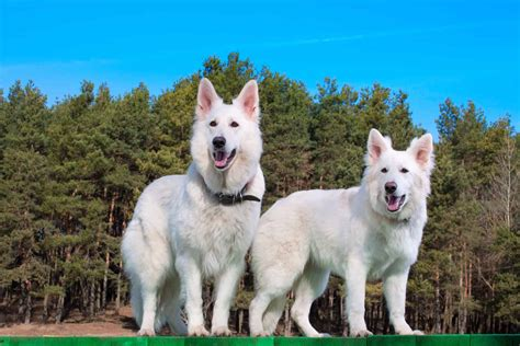 beautiful white swiss shepherd dog   spotlight