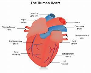Adult Cardiovascular Consultation