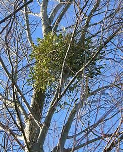 Mistletoe - Wikipedia
