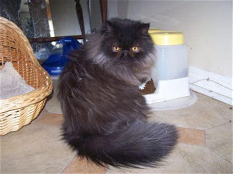 image de chat persan noir