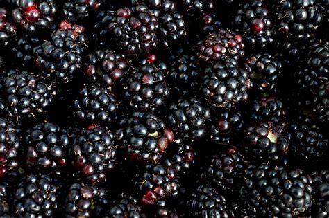 photo blackberry berry fruit picking  image