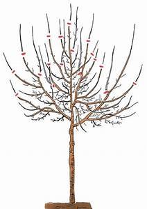 Wann Apfelbaum Pflanzen : pflaumenbaum richtig schneiden pflaumenbaum ~ Lizthompson.info Haus und Dekorationen