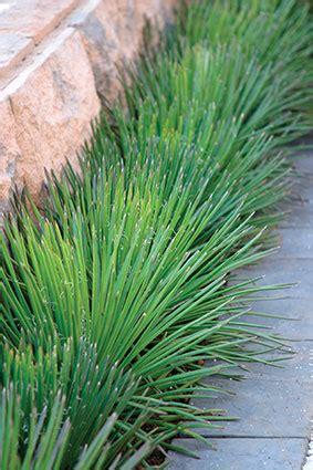 agave geminiflora twin flower agave
