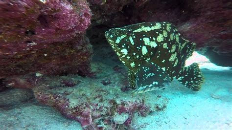 grouper marbled