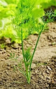 Welche Pflanzen Passen Gut Zu Hortensien : welche kr uter passen gut zusammen nebeneinander pflanzen ~ Heinz-duthel.com Haus und Dekorationen