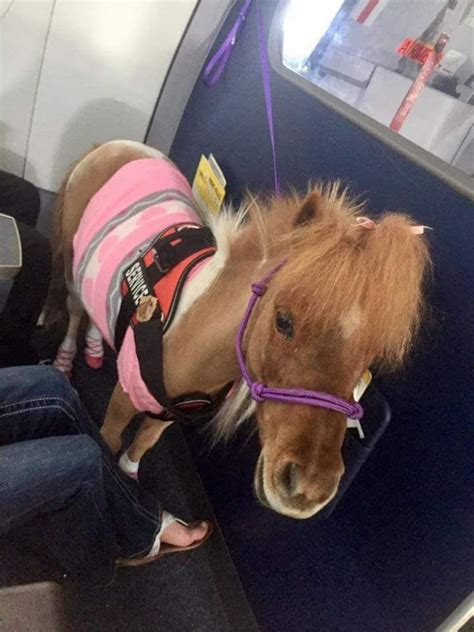 pony emotional support animal animals planes loyaltylobby rooster rules service dog pet vest turkey dogs pig flight he pets lavender