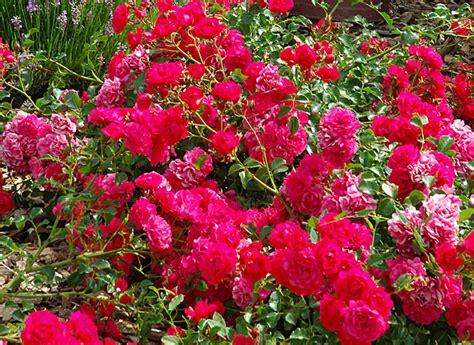 tailler un rosier remontant couvre sol en hiver