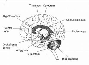 Brain Diagram Labeled 3 Best Images Of Simple Brain