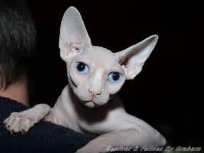sphynx cat breed profile uk cat breeders