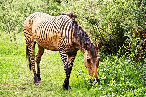 zorse zebra zebroid horse animal horses cross hybrids animals kenya between zonkey stallion donkey mare zebras awesome nanyuki hybrid kingdom
