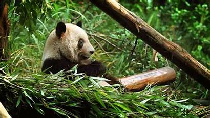 Panda Bear Animated Myniceprofile Tweet