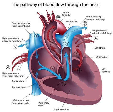 heart murmurs pictures posters news and videos on your