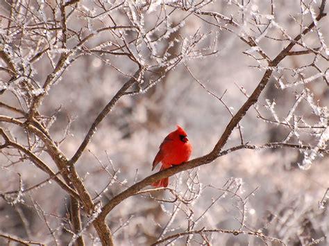 wild life beautful cardinal wallpaper wild birds