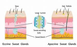 Apocrine Glands Sweating And Odor Deodorant Handmade
