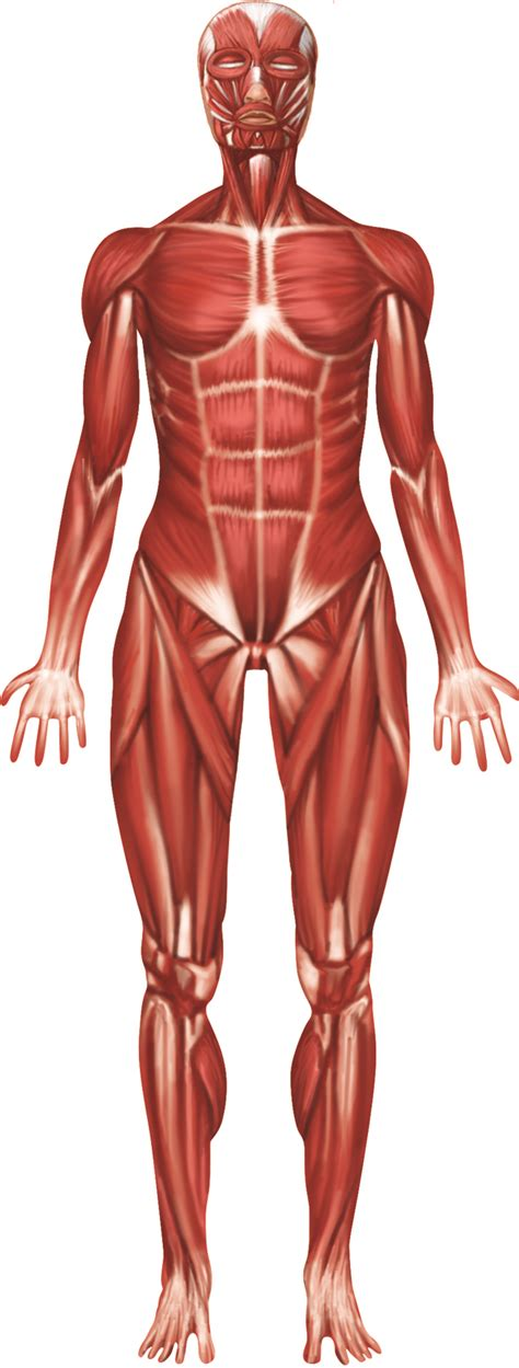 Muscular System Images Muscular System Related Keywords Muscular System