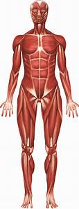 Muscular System Contraction Of Motor Units
