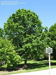 best 25 ideas about iowa state tree find what you ll love