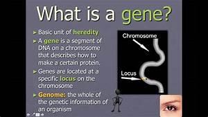Chromosomes  Genes  And Alleles  Ib Biology