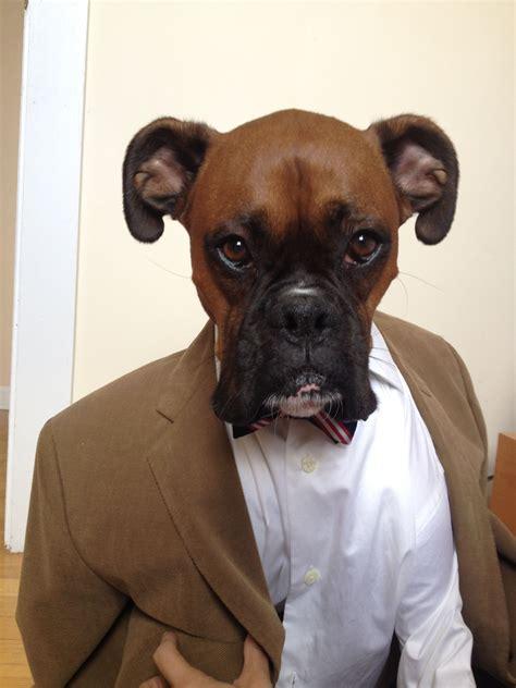 Menswear dog boxer, funny face edition | Boxer Love ...