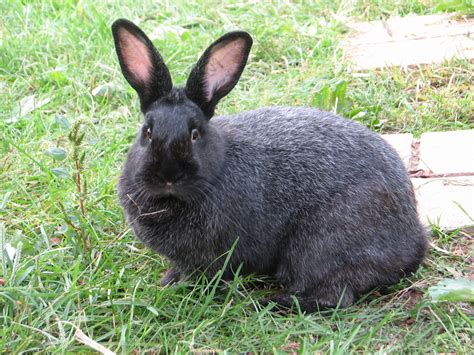 bred si鑒e social chocolate silver fox rabbit pixshark com images galleries with a bite