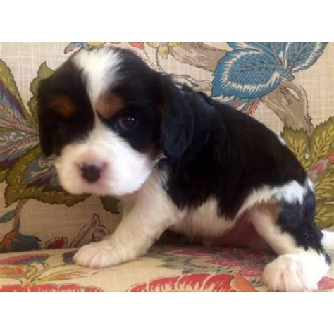 adorable cavalier puppies   adoption