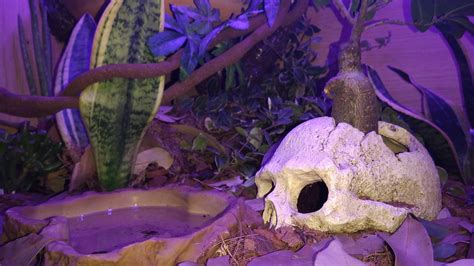 ball python heat l off at night my bio active set up for a ball python