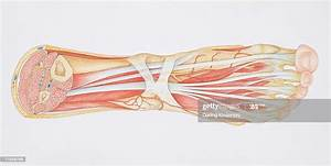 Diagram Of The Muscles And Tendons In The Human Ankle And