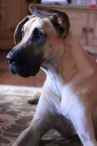 great dane things-i-love | These are sooo Pinteresting ...