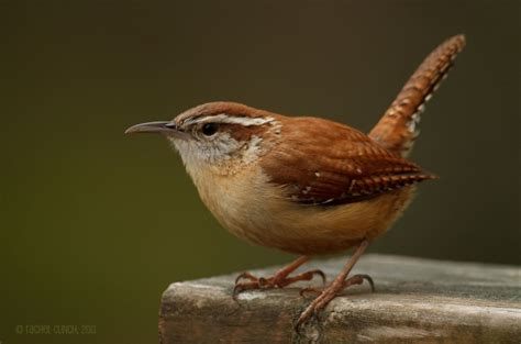 the loud ringing call of the carolina wren is a common