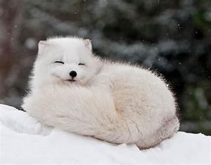 Cute Baby Snow Fox