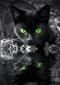 black cats with green black cat green photography random