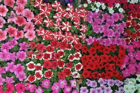 annual flowering bushes spring and summer blooming plants ehow