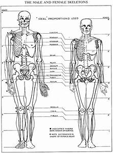 Image Result For Male And Female Skeleton Proportions