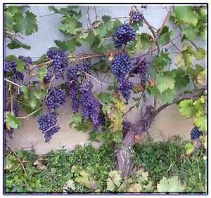 Fragola coltivazione Piccoli Frutti Metodi di coltivazione della fragola
