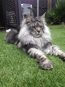 Un chat très original, Stunning Maine Coon....chat de l ...