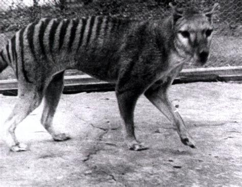 thylacine tiger tasmanian footage australia pups 1932