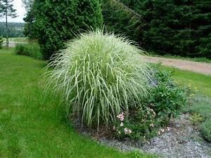 Miscanthus Sinensis Variegatus : 104 best images about fl ornamental grass on pinterest in august feathers and bluish gray ~ Eleganceandgraceweddings.com Haus und Dekorationen