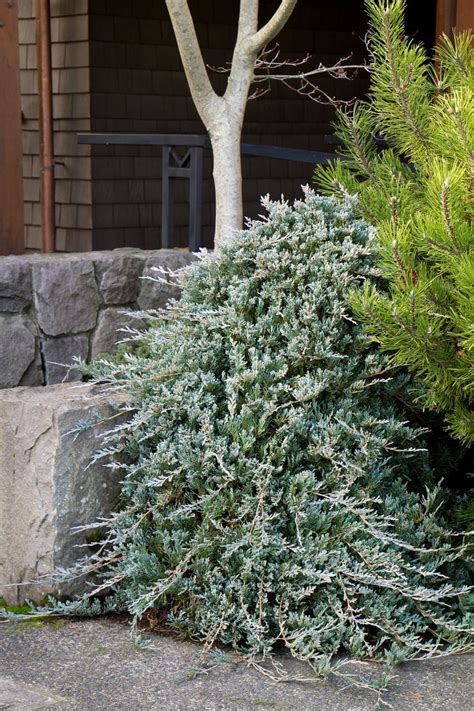 blue rug juniper for conifer blue rug juniper monrovia blue rug juniper