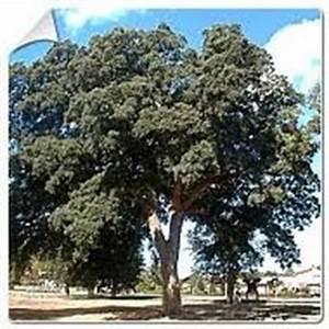 Arbres A Pousse Tres Rapide : arbres feuilles persistantes arbres grand ~ Premium-room.com Idées de Décoration