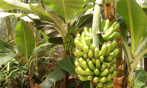 banana trees steps to grow banana plants inuofebi