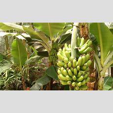 El Arish Tropical Exotics Australian Tropical Plant