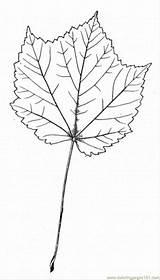 Maple Coloring Sugar Ausmalbilder Baum Clipart Malvorlagen Clip Konabeun Colouring Popular Stew Beef Tree Library sketch template