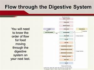 Image Result For Digestive System Flow
