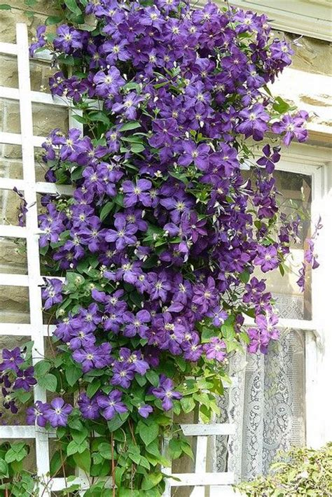 purple flowers that grow on vines i want this beautiful clematis growing up the side of my house k jackman england 1858