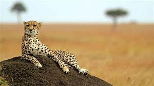 15 Fast Facts About Cheetahs