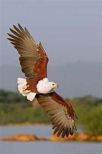 African Fish Eagle - sub-Saharan Africa | AVES | Pinterest ...