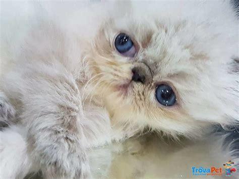 gattini persiani gattini persiani ed in vendita a cassino fr